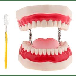 Modelo de Cuidado Dental  3 Veces su Tamaño
