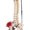 Columna Vertebral Flexible con Inserciones Musculares