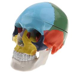 Craneo humano clasico con color