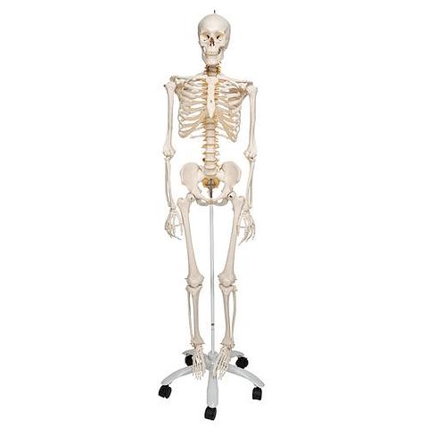 Esqueleto Humano Clásico Masculino Flexible