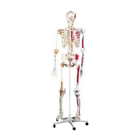 Esqueleto Humano con Inserciones y  Ligamentos