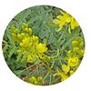 ALEJANDRÍA / SEN DE ALEJANDRÍA (Senna alexandrina) - 20 gr aprox. -   Presentación: Frutos con semillas: conocidos como ALEJANDRIA