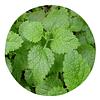 MELISA (Melissa officinalis) Deshidratada - 20 gr - Presentación: (Tallo-Hojas-Flores)