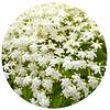 SAUCO (Sambucus nigra), 5 gr  aprox. - Presentación: (Flores Deshidratadas)