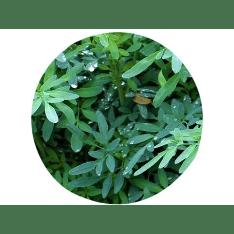RUDA (Ruta chalepensis), 15 gr aprox.  - Presentación: (Tallo-Hojas-Deshidratadas)
