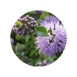 POLEO / MENTA POLEO (Mentha pulegium), 20 gr aprox. - Presentación: (Tallo-Hojas-Flores) Deshidratado