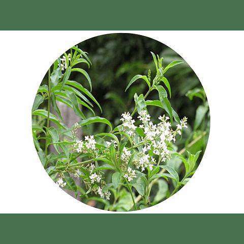 CEDRÓN (Aloysia citrodora), 15  gr aprox. - Presentación: (Tallo-Hojas) Deshidratado