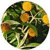 MATICO / PAÑIL (Buddleja globosa), 15 gr aprox. - Presentación: (hojas)