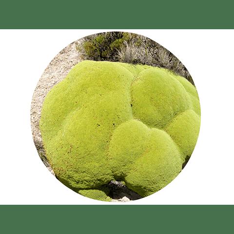 LLARETA (Laretia acaulis), 10 gr aprox. - Presentación: Toda la planta (champa) Deshidratada
