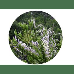 PICHI ROMERO/PICHI (Fabiana imbricata), 15 gr aprox. Presentación:(ramas) Deshidratado