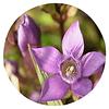 Hercampuri (Gentianella albo-rosea), 20 gr aprox. - Presentación: (hojas y tallos) Deshidratados