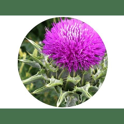 CARDO MARIANO, (Silybum marianum), 15 gr aprox. – Presentación: (Semillas , Tallos, flores) Deshidratado