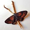 Fieltro Mariposa Roja