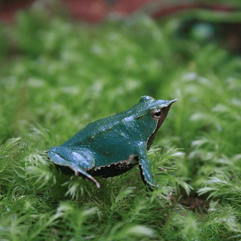Conservación de la Ranita de Darwin
