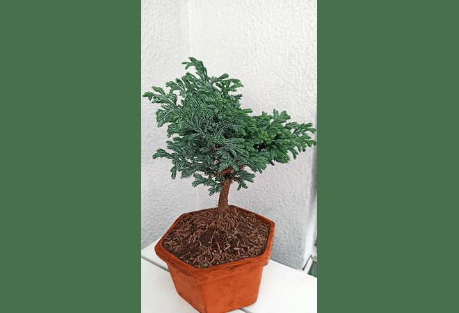 Bonsai pino grande 45 cm