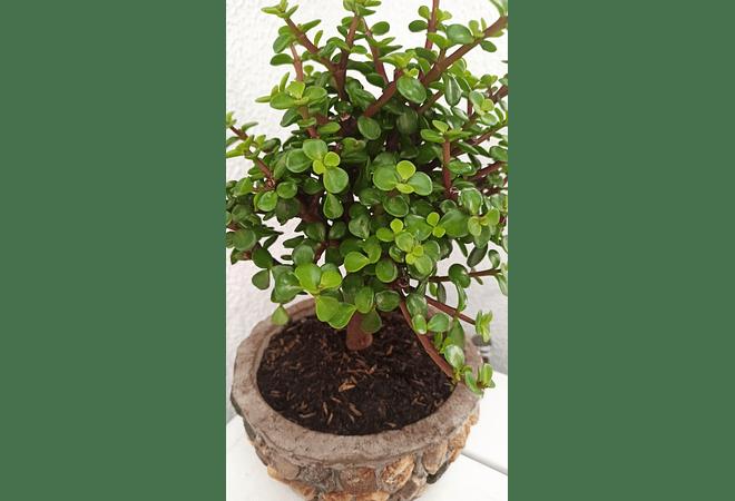 Bonsai Jade grande con matera en piedra