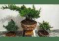 Bonsai pequeño en matera piedra