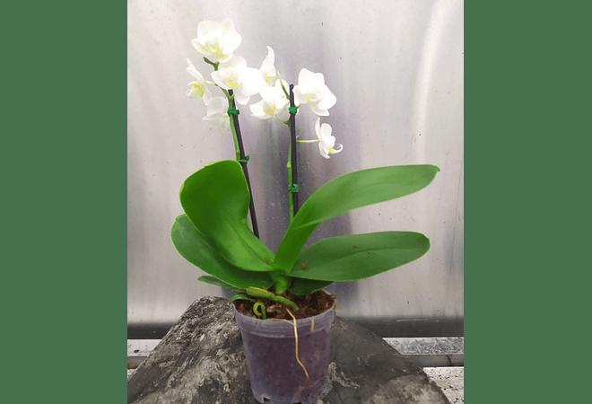 Orquídeas grandes