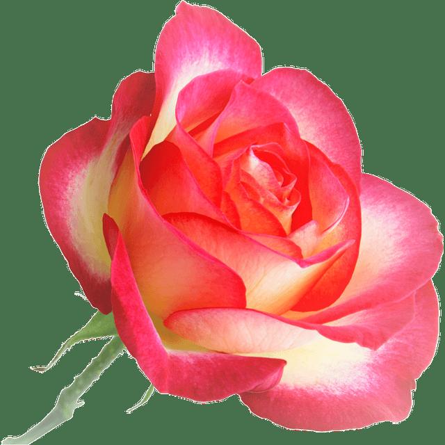 Agua de rosas chile tónico natural loción pura humectante orgánica