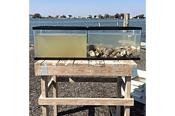 Oysters filter the water!